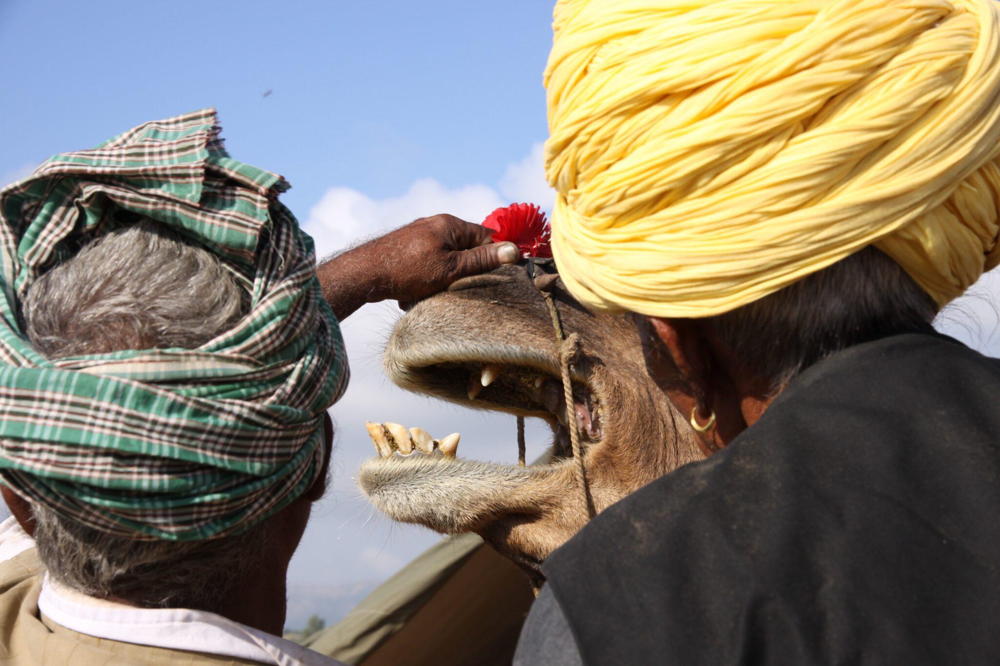 Pilar Latorre en Pushkar, la feria de dromedarios más grande del mundo